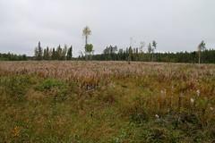 Ryönänkoskella hakkuuaukko (nikojyrl) Tags: autumn suomi finland kuopio syksy luonto 2014 syyskuu luontopolku lammasjärvi suovu ryönänkoski