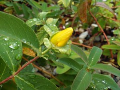Hypericum Calycinum (Zoltan Toth Photo) Tags: flower nature rain yellow photo g6 hypericum miskolc huawei zoltn tth calycinum orbncf kacsa87