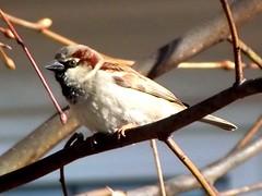 sparrow (menchuela) Tags: birds noone out housesparrow menchuela