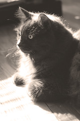 Sun Spot (flashfix) Tags: portrait sunlight ontario canada monochrome sepia cat nikon ottawa kitty sunny 40mm focused afternoonsun ragdoll afternoons ragamuffin 2014 naturallighting softexposure fyero d7000 nikond7000 2014inphotos pictureunrelatedtoblurb september162014