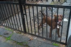Street - Mexico City Guard Dog (redyamflan) Tags: mexicocity guarddog geocity exif:make=fujifilm camera:make=fujifilm geostate geocountrys exif:aperture=ƒ40 fujixpro1 camera:model=xpro1 exif:model=xpro1 exif:lens=xf23mmf14r exif:isospeed=320 exif:focallength=23mm geo:lat=19349305555555 geo:lon=99167155555555