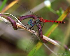 Male Blue-faced Meadowhawk_5751.NEF-002 (Henryr10) Tags: libélula dragonfly dragonflies libellula libellule woodlandmound hamiltoncountyparkdistrict cincinnati libelle drekafluga odonata bluefacedmeadowhawk meadowhawk sympetrumambiguum sympetrum libellulidae greatparksofhamiltoncounty