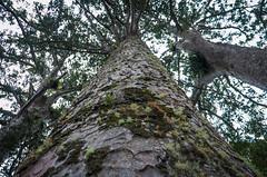 Waiau Grove Walk Kauri Trees