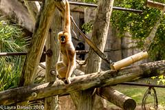 _MGL9755.jpg (shutterbugdancer) Tags: fortworthzoo primate whitecheekedgibbon
