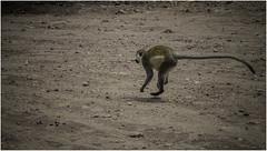 Vervet Monkey, Chamo Lake, Nechisar National Park (Luc V. de Zeeuw) Tags: animal bluescrotum chamolake eagle ethiopia monkey nature nechisar nechisarnationalpark park reed scrotum vervet vervetmonkey wildlife