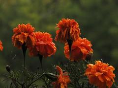 No be  repeatable rainy moment . (Marinyu..) Tags: raindrops autumn sz flower tagetespatula brsonyvirg bdske sziescsepp virg orange narancssrga explore 203explore ovalraindropdisplay
