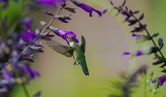 Hummingbird (rvtn) Tags: hummingbird rubythroatedhummingbird birds bird salvia purple green flowers flower flight nature chicagobotanicgarden