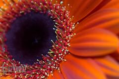 Pointy Stamens (Sue_Hutton) Tags: october2016 pforpointed alphabetchallenge2016 autumn flower gerbera home macro stamens
