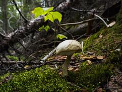 (ELIS ING) Tags: september earlyautumn earlyfall quebec canada woods forest parcouareau parcregionaldelaforetouareau mushroom fungus champignon toadstool