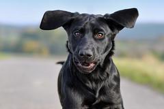 flying ears (uwe.kast) Tags: labrador labradorretriever labradorredriver welpe puppy hund dog nikon nikond3 d3 bokeh
