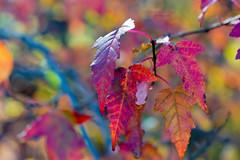 a rainbow of colors ... (mariola aga) Tags: chicagobotanicgarden glencoe autumn fall garden seasonchange tree leaves branch pastel rainbow colors bokeh dof closeup