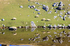 IMG_9631 (DaveGifford) Tags: strathy scotland unitedkingdom sheep