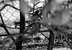 (detection) (Dinasty_Oomae) Tags: minolta  minoltina  minoltinas s   tokyo   monochrome outdoor street bw blackwhite blackandwhite  akihabara  taitoku   cat