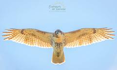 wingspan (Scott Joshua Dere) Tags: birdofprey raptor hawk inflight soar hover fly backlight
