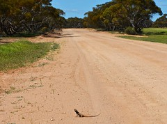 Frilled-neck lizard, Mallee (malleefarmscapes) Tags: mallee outback frillednecklizard lizard frill neck dirt road landscape bush australia australian victoria rural