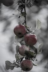 (schulze31) Tags: herbst apfelbaum apfel baum tree autumn
