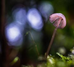 Fall Mushrooms 2 of 2 (Don White (Burnaby)) Tags: centralpark extensiontube flowersplants macro sigma30mmf28 bokeh mushroom