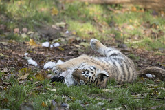 Amur Tiger Cub with new toy (Korkeasaaren elintarha) Tags: korkeasaarenelintarha elintarha korkeasaari hgholmensdjurgrd djurgrd helsinkizoo hgholmen zoo animals zooanimals amurtiger amurtigercub pantheratigrisaltaica amurintiikeri