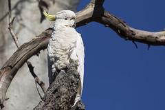 Sulphur-crested Cockatoo 2016-10-13 (60D_4219) (ajhaysom) Tags: sulphurcrestedcockatoo cacatuagalerita woodlandshistoricpark greenvale melbourne australia australianbirds canoneos60d sigma150600