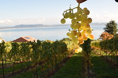 Vignobles (Beth Sreeves) Tags: neuchtel suisse grapes outdoor autumn automne vineyard fruit plants lake lac switzerland agriculture water blurred background