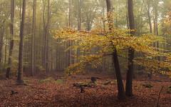 Time of Rest (Netsrak) Tags: mist fog nebel wald forst forest woods outdoor eifel natur nature leaf leaves blatt blätter autumn fall herbst
