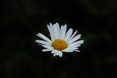 Autumn Daisy (Hugo von Schreck) Tags: hugovonschreck flower blume blte daisy outdoor canoneos5dsr tamron28300mmf3563divcpzda010