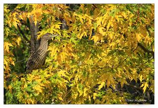 1E1A6716-2-DL   -   Bihoreau gris (juvénile) / Black-crowned Night-Heron.