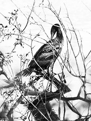 Juevenile Cormorant (Alan FEO2) Tags: cormorant juvenile bird aquatic waterfowl feathers wings beak tail branches reflection willowpattern monochrome blackandwhite outdoors panasonic dmc g1 2oef