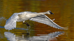 Trumpeter Swan (Cygnus buccinator) (ER Post) Tags: bird swan trumpeterswancygnusbuccinator hickorycorners michigan unitedstates us