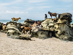 Goats play in beach rock pools (hastuwi) Tags: bayah banten indonesia idn pantai sawarna beach coral stones rock rocky kambing goat lamb holiday seascape playground climbing