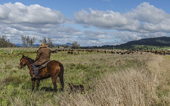 Cattle Droving in the long paddock a (Bev-lyn) Tags: cattle droving australia outdoors roads