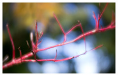 Cornus (leo.roos) Tags: branch tak cornus leaf blad leaves bladeren autumn herfst fall oktoberfest2016 challenge dyxum soft glowing ethereal dreamy velvety lensbabyvelvet5616 emount a7 darosa leoroos red rood