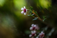The beauty of nature (DingoShoes - life's a dream) Tags: waxflowers chamelaucium flowers small pretty pink green light nikond7000