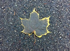 Maple Leaf (XoMEoX) Tags: verfall decay canada contrast black iphone6 iphone acer street rand gelb yellow herbst autumn leaf blatt ahorn maple