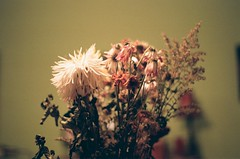 Fleur (charlesdguenette) Tags: fleur fane mort rose orange vista 35mm focus gros plan