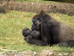 Lowland Gorilla Baby (Streetfire2007) Tags: done
