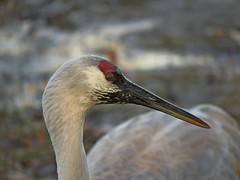 Sandhill Crane with mudpack facial, LOL! (Photos by the Swamper) Tags: birds cranes sandhillcranes