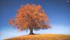 Golden Autumn (VandenBerge Photography) Tags: autumn season switzerland nature lonelyplanet landscape yellow tree composition sky nationalgeographic europe canon