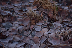 DSC_7040 (Karel Suchnek) Tags: evening sunset dry leafs late autumn firstfrost