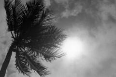 Sun palm (vincdubeaujo) Tags: palm sun palmier soleil contrejour controlaluce noiretblanc blackandwhite palma sole nuvole nuage vacance plage sea beach spiaggia arbre albero tree coco vent wind olympus om1 zuiko ombra ombre ombraeluce flickr estrellas flickrestrellas