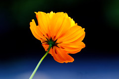 Cosmos+Sulphureus+Swaying+in+The+Wind+%3A+%E9%A2%A8%E3%81%AB%E3%82%86%E3%82%8C%E3%82%8B%E3%82%AD%E3%83%90%E3%83%8A%E3%82%B3%E3%82%B9%E3%83%A2%E3%82%B9