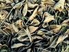 walnut leaves (Stiller Beobachter) Tags: leaf fost fallen brown