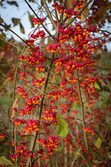 Rote Beeren (G_Albrecht) Tags: season beere farben frucht gehoelz gestaltung herbst jahreszeit landschaft orange pflanze rot strauchstaude umwelt
