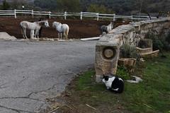 Gat a L'Ametlla de Segarra (esta_ahi) Tags: lleida gat gato cat felis silvestris catus felissilvestriscatus cavalls caballos equusferuscaballus equus ferus caballus equidae mammalia animales domsticos fauna lametlladesegarra segarra lasegarra lrida spain espaa