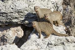 Banded mongoose group (thewildlifephotographer) Tags: mongoose
