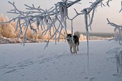 trying to be depressed (not working on days like these) (johanskold) Tags: alaskanmalamute malamute dog polardog arcticcbreed hiking winter snow sweden arcticcircle swedishlapland river ice frozenriver november nikon hikingwithdogs