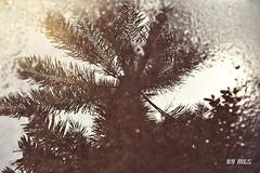 Unfailable reflections.... (Maria Luiza S) Tags: reflexos coconuttrees coqueiros spia reflexes