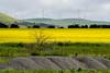 Waves (Derek Midgley) Tags: pa197322 wind generators power turbines canola rape seed yellow flowers flowering bloom spring victoria australia