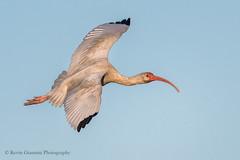 Ibis (Kevin James54) Tags: eudocimusalbus ibis nikond500 tamron150600mm whitsibis animals avian bird kevingianniniphotocom