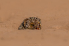 Common dwarf mongoose (Helogale parvula) (Irtiza Bukhari) Tags: commondwarfmongoosehelogaleparvula common mongoose dwarf beauty nature irtiza bukhari peeping pakistan ngc natgeo photography portrait photographer jungle light lens canon70d canon 400mm 400mm56 sunrisethismorning sunrise love face life show dslr flickr freeze details hairs red eyes eos cononeos70d
